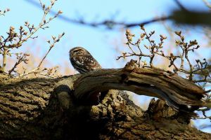 My first sighting of a Little Owl